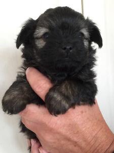 Cute Tiny Puppies- chihuahua xShi Tzu
