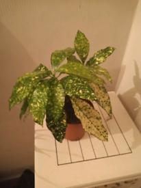 Unusual live Aucuba Japonica Croton, collect from London SE16