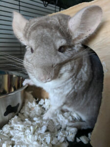 Chinchilla for rehoming