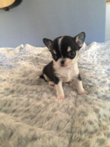 Cutest Chihuahuas for Christmas available in Peachland