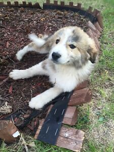 Great Pyrenees cross border collie