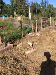 Locally raised piglets for sale