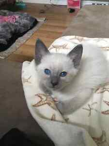 Beautiful Blue Point Siamese Kitten For Sale (parents on site)