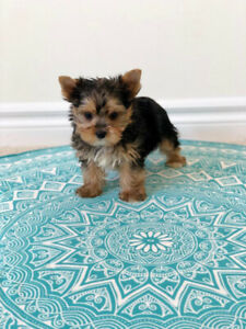 Yorkie Puppies Sale | Kijiji in Ontario  - Buy, Sell & Save