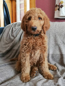 F1b House Trained Goldendoodle. Price 3500