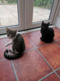 2x Female Kittens **Must Go Together**