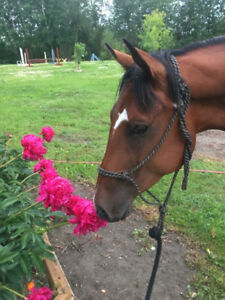 Gorgeous bay gelding REDUCED