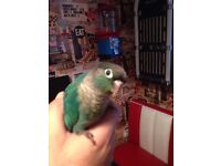 Blue conure for sale with cage and Del option