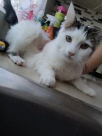 Kitten 8 months old