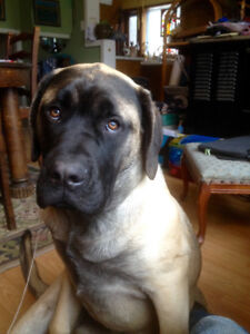 English/Bull mastiff for sale