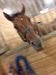 Horses Available for Coboarding Cambridge Kitchener Area image 9
