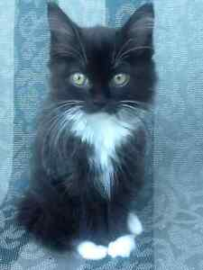 ❤️ Himalayan tuxedo female long haired 8 weeks old beauty