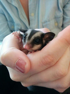 Two Male Sugar Gliders Looking for Forever Home Cambridge Kitchener Area image 3