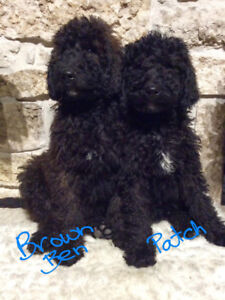 Goldendoodles F1B Family-Raised, No Shed, Service Dog Adorable