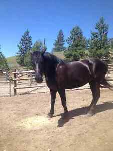 TB & Percheron or Tennessee Walker / Percheron 5 yr old