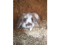 Lion head rabbit male