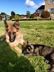 German Shepherd Puppies ( long hair )