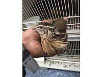 Pure Breed Japanese Quails - High Quality - Top Breeds