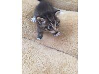 Bengal/colourpoint male kitten.