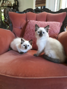 Ragdoll kittens Negotiable