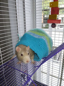 Domestic rat for sale / à vendre (all items included)