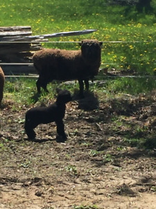 Registered Baby Doll Sheep