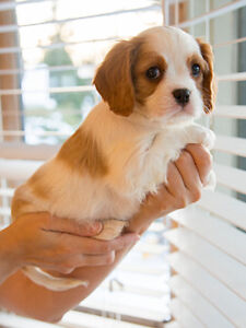 Cavalier King Charles chiot à vendre