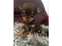 KC REG CHOCOLATE CHIHUAHUA