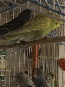 Young budgies available to re-home