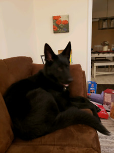 Purebred Male Black German Sheppard - On hold currently.