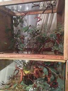 Spiny Leaf Stick Insects Balwyn North Boroondara Area Preview
