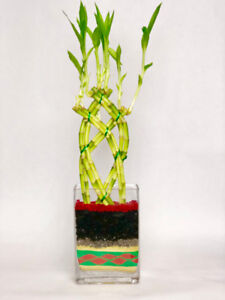Geoponics_Lucky Bamboo Plant Stem Only $ .60 Each