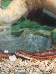 3 ft Beautiful Corn Snake for Sale