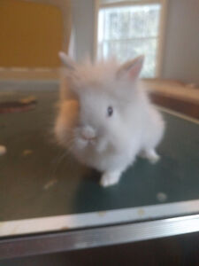 Baby lion head bunnies for sale