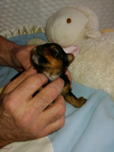BEAUTIFUL YORKIES- ONLY 3 MALES LEFT