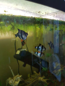 Tiger barbs and zebras for sale