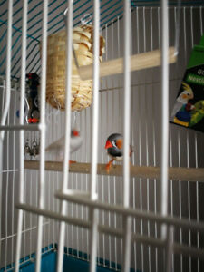 Baby finches with cage and accessories