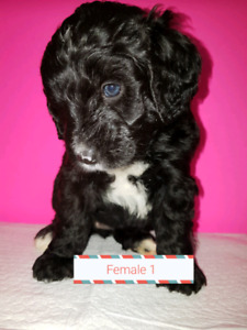 Bernedoodle (mini) puppies F1