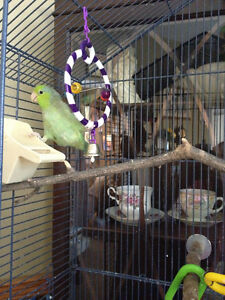 Green Parrolet approx. 6 months old