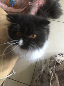 One year old Persian cat