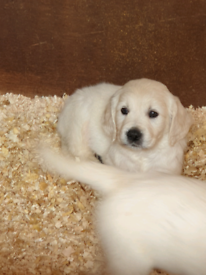 Golden retriever | Dogs & Puppies for Sale - Gumtree
