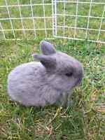 Mini lop x holland lop bunnies
