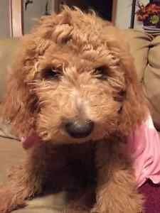 MULTI GENERATION GOLDENDOODLE PUPPIES AVAILABLE!
