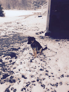 Chienne berger allemand  Pure race