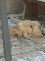 2 Female Golden Retriever Puppies