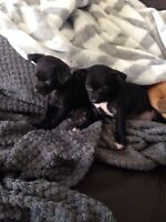 2 female chihuahua puppies looking for a good home