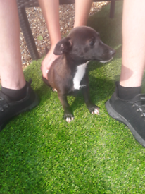 Jack Russel Puppy for sale
