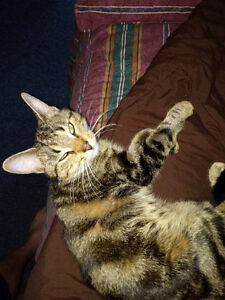 Found Female Cat - Brown Tabby Shorthair