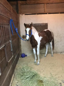 horse for sale or trade