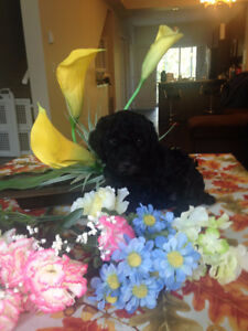 Male miniature poodle puppy looking for his new home